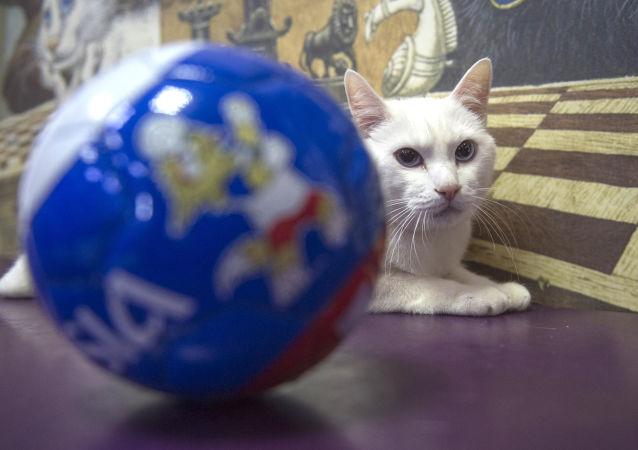 俄羅斯艾爾米塔什博物館的神貓阿喀琉斯