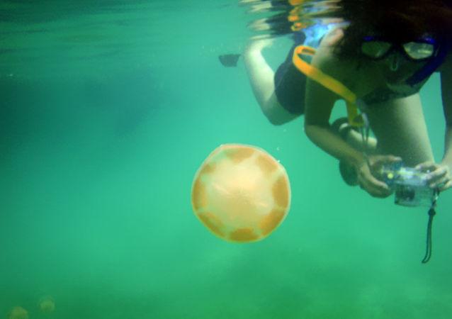 潛水員遭遇和人一樣大的巨型水母