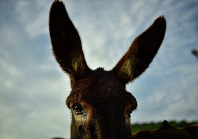 開羅動物園為吸引遊客將家驢扮作斑馬