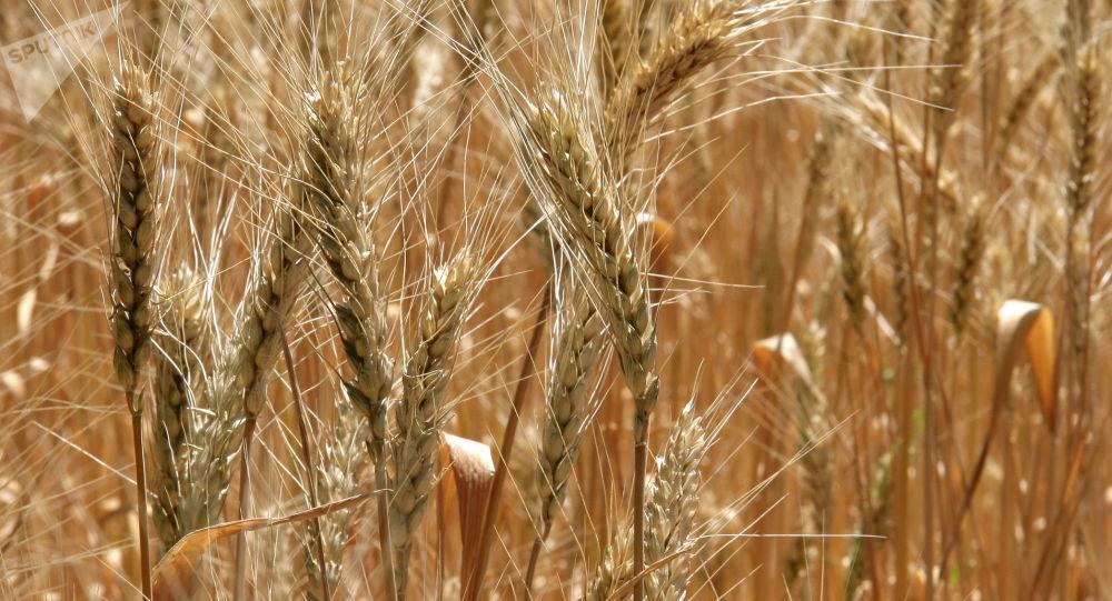 俄農業部:2018-2019農業年度俄小麥出口量將超三千萬噸