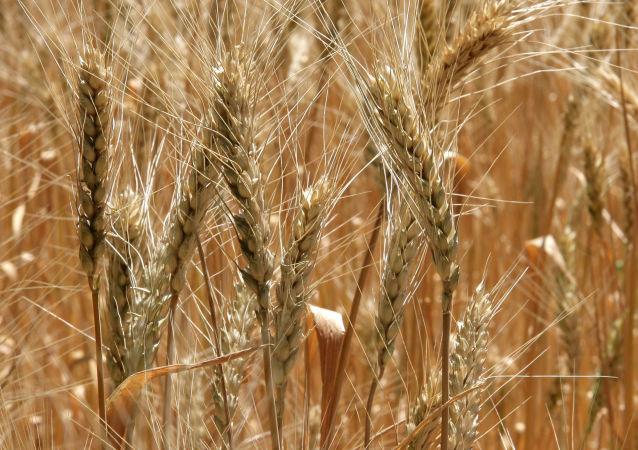 俄將在敘建立中東最大俄小麥出口樞紐