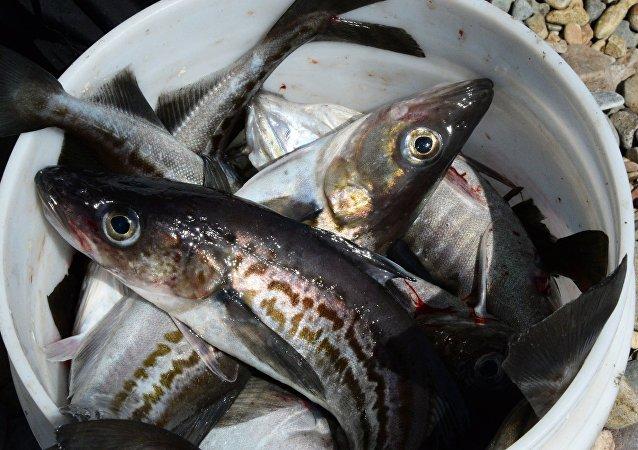 明太魚 (Theragra chalcogramma)