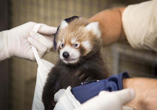 紅熊貓幼崽在赫爾辛基動物園出生