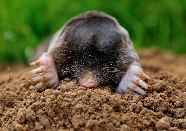 在哈爾科夫逮住了一隻在體育場內挖洞的鼴鼠