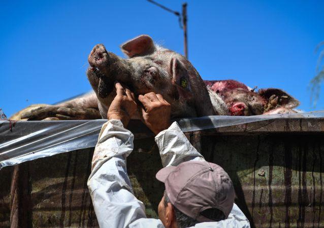 非洲豬瘟病毒首次在俄濱海邊疆區十月區得到確認