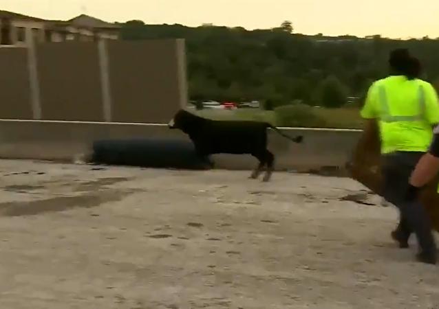 別用蹄踏:整個奶牛畜群從翻倒的貨車中獲得自由