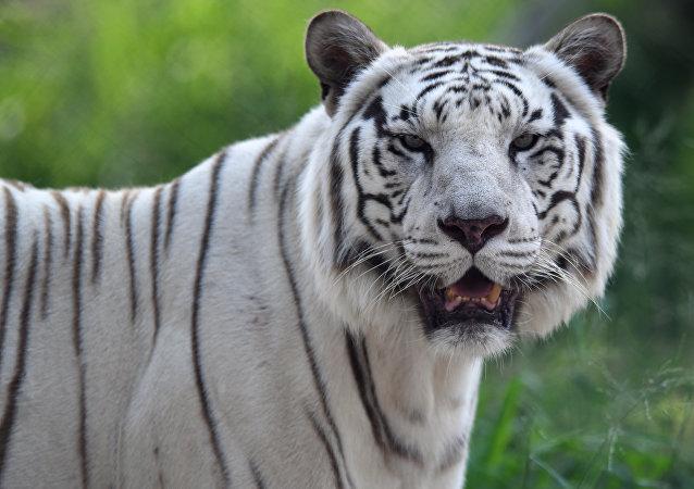 聖彼得堡國立大學:中美俄三國學者確定全球還剩6種老虎亞種