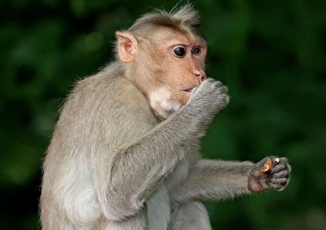 斯里蘭卡猴子扔下椰子砸死老婦人