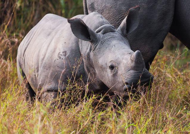 中國廢止虎骨和犀牛角貿易禁令引WWF反對