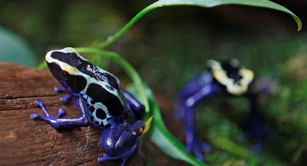 數百隻運往歐洲的罕見青蛙在哥倫比亞被沒收