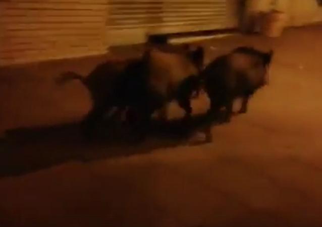 巴塞羅那市中心現野豬閒逛