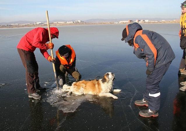 外貝加爾凍在湖中的狗得救