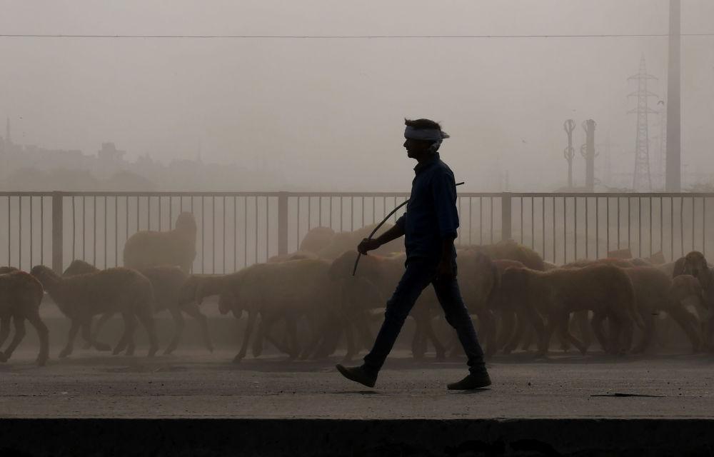 牧羊犬穿過濃厚的霧霾,驅趕著綿羊,新德里,印度