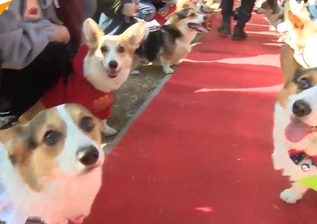 狗狗大賽:百餘柯基在北京比賽