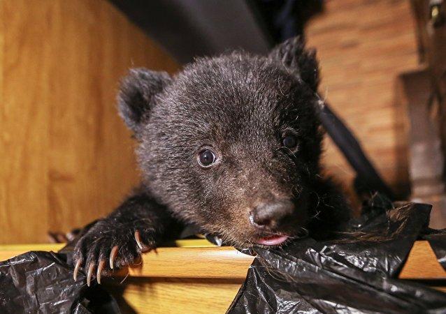 俄濱海邊疆區動物康復中心又收治兩只虛弱的熊幼崽