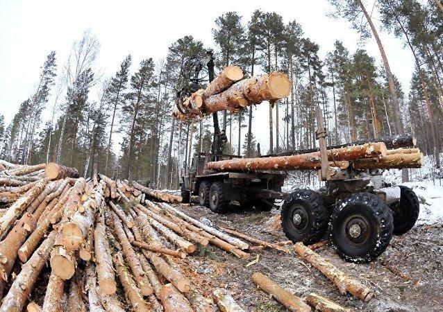 俄西伯利亞查獲一起木材走私案 涉案金額超6億盧布