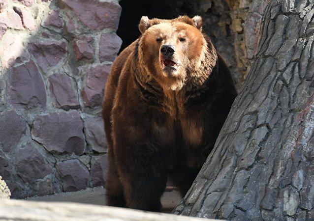 莫斯科動物園的棕熊