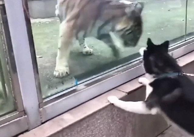 視頻抓拍:狗追虎在中國動物園上演