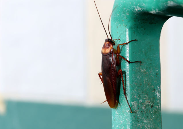 媒體:中國借助蟑螂處理垃圾問題