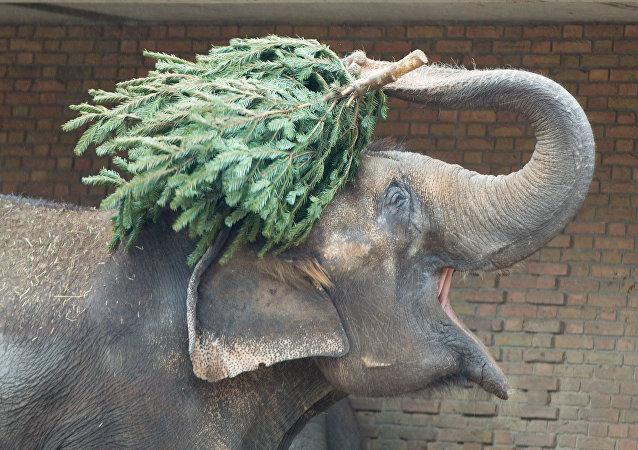 柏林動物園動物享用聖誕樹大餐