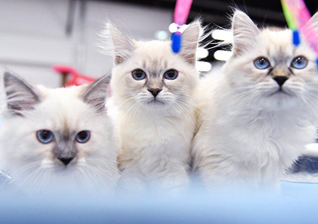 在俄羅斯,西伯利亞貓很流行