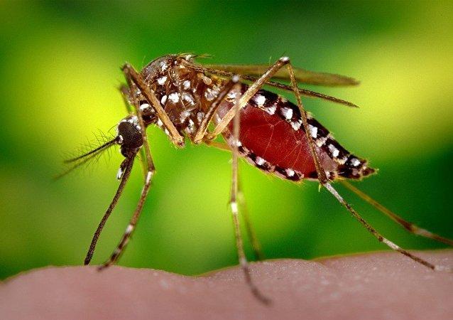 蚊子 Aedes aegypti