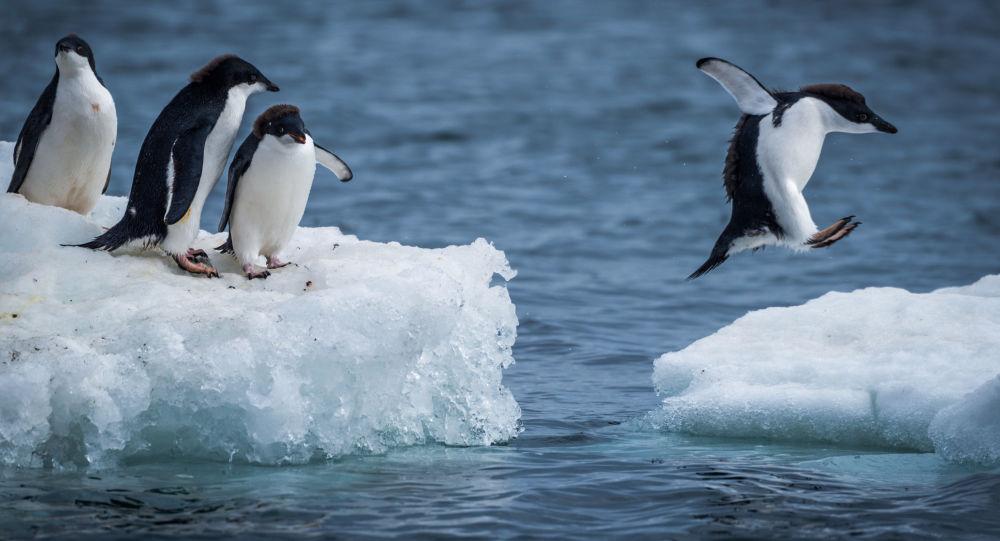 成功逃離浮冰的企鵝成為網紅