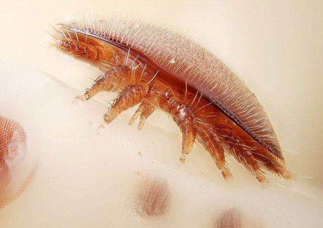 瓦蟎(Varroa destructor)