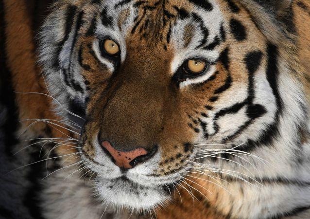 濱海邊疆區一隻老虎攻擊人後逃去森林