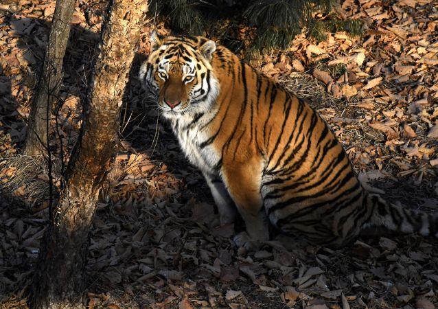 第二屆保護老虎國際論壇或在俄羅斯舉行
