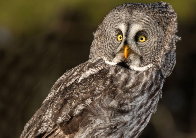 攝影師拍下了一隻「隱身」的貓頭鷹