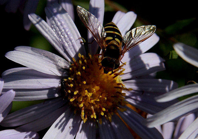 蜜蜂 (俄羅斯濱海邊疆區)