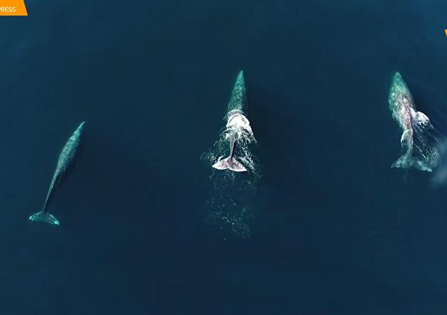 無人機航拍灰鯨游泳