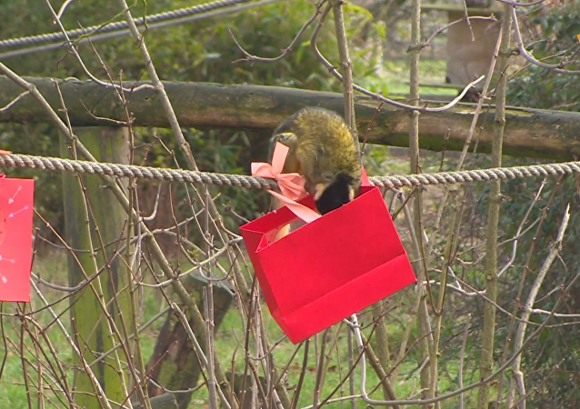 英國動物園松鼠猴獲贈情人節禮物