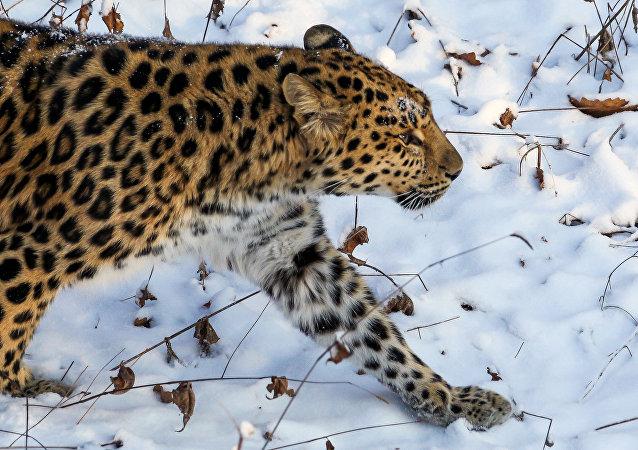 豹子給俄科學家出難題:三年拍不到全貌