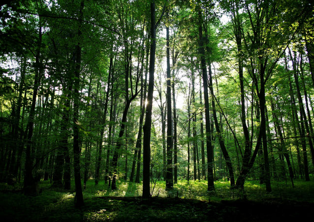 比亞沃維耶扎原始森林,白俄
