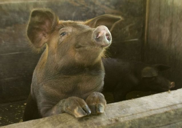 韓國金浦市養豬場發現非洲豬瘟疑似病例