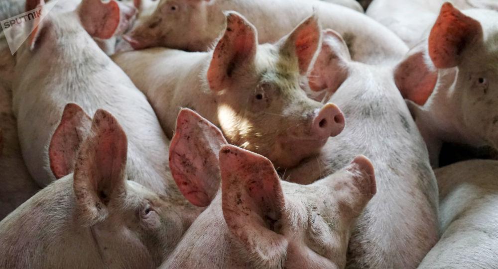 韓國出現第二例非洲豬瘟確診病例