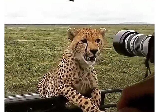 攝影師用相機鏡頭恐嚇獵豹