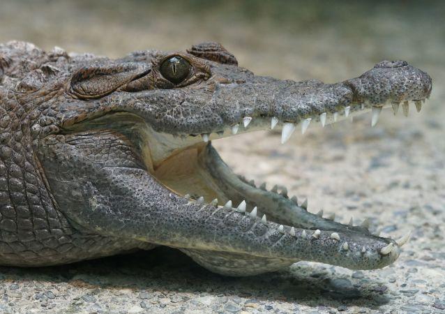Голова крокодила.