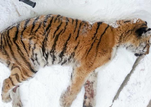 俄哈巴羅夫斯克邊疆區村民將一隻阿穆爾虎射殺