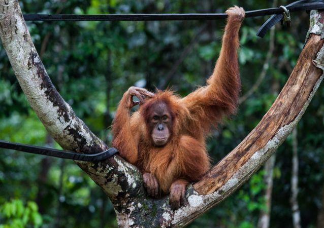 大猩猩當著遊客的面咬掉飼養員半只手臂