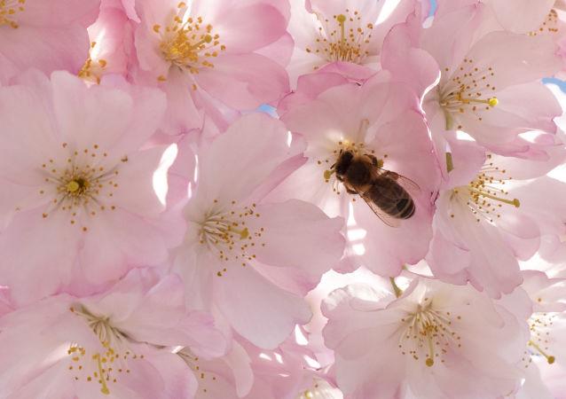 英國人意外將危害當地品種的土耳其蜜蜂帶回國
