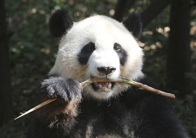 中國開發熊貓臉識別APP