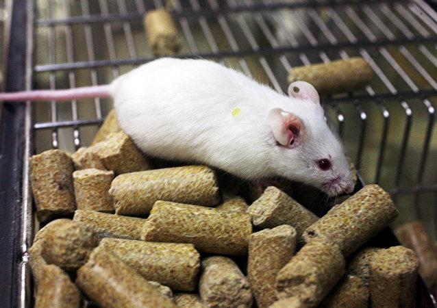 西伯利亞科學家希望使用轉基因小鼠對抗新冠病毒