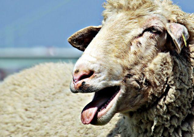 英國男子拍到綿羊玩轉盤的畫面