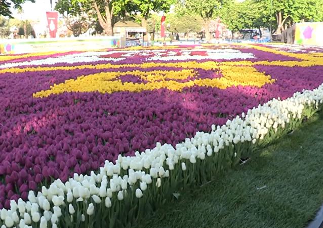 「鬱金香地毯」裝點伊斯坦布爾廣場