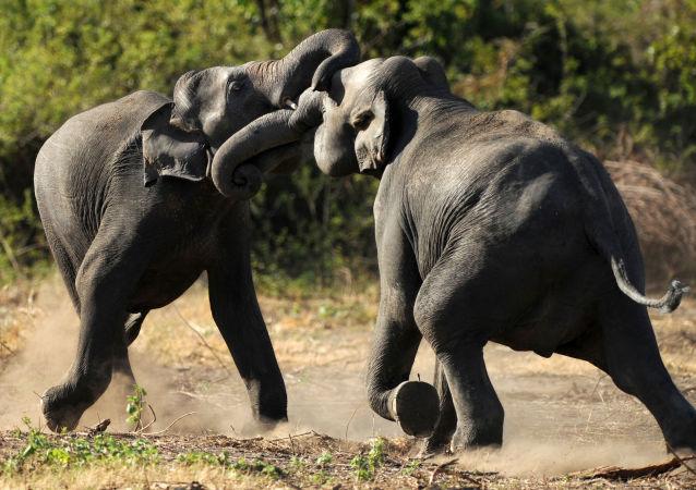 雲南三人遭到野生大象襲擊身亡