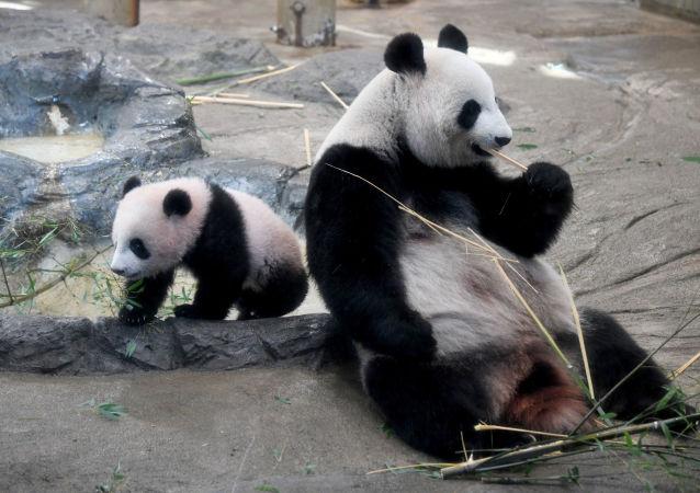 熊貓幼仔在「幼仔」運動場被繩纏住死於四川