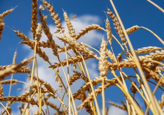 中國統計局:中國夏糧總產量14281萬噸 產量創歷史新高